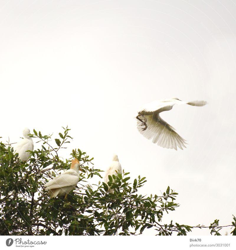 Startender Seidenreiher: Launch Sequence VI Natur Tier Sommer Park Wald Santillana del Mar Spanien Kantabrien Wildtier Vogel Reiher Brutkolonie Vogelkolonie 4