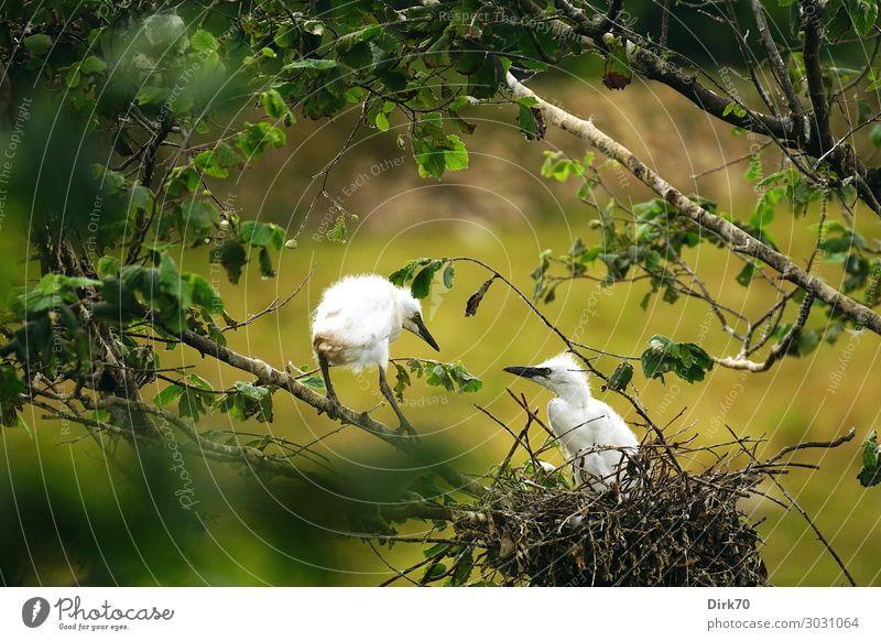 Nestflüchter: Seidenreiher-Küken Umwelt Natur Tier Sommer Pflanze Baum Blatt Park Wald Santillana del Mar Kantabrien Spanien Wildtier Vogel Jungvogel 2