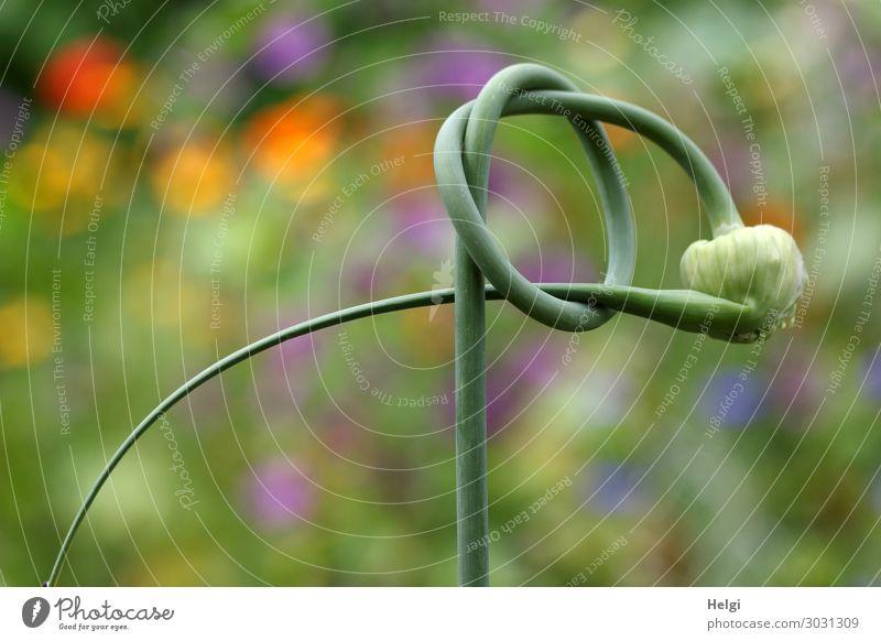 Lauchpflanze, zu einem Knoten geformt, in einem Garten Umwelt Natur Pflanze Sommer Schönes Wetter Blume Stengel Blütenknospen Porree festhalten außergewöhnlich