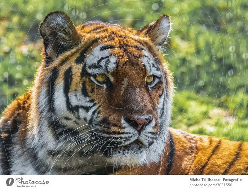 Amurtiger Porträt Natur Tier Sonnenlicht Schönes Wetter Gras Wildtier Tiergesicht Fell Sibirischer Tiger Auge Ohr Nase Maul 1 beobachten glänzend leuchten Blick