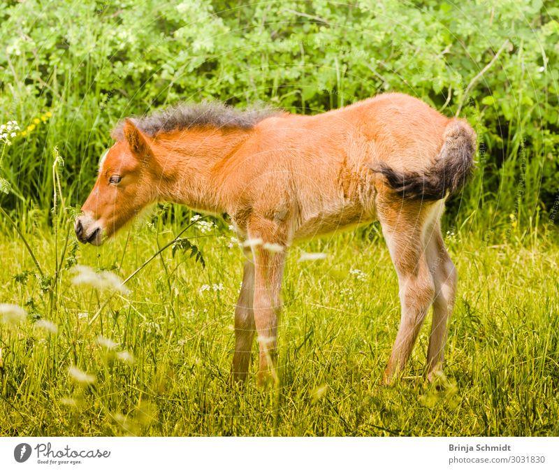 Niedliches kleines Fohlen schnuppert an einer Blume Natur Sommer Tier Gesundheit Tierjunges Leben Wiese Glück Ausflug Zufriedenheit frisch Schönes Wetter