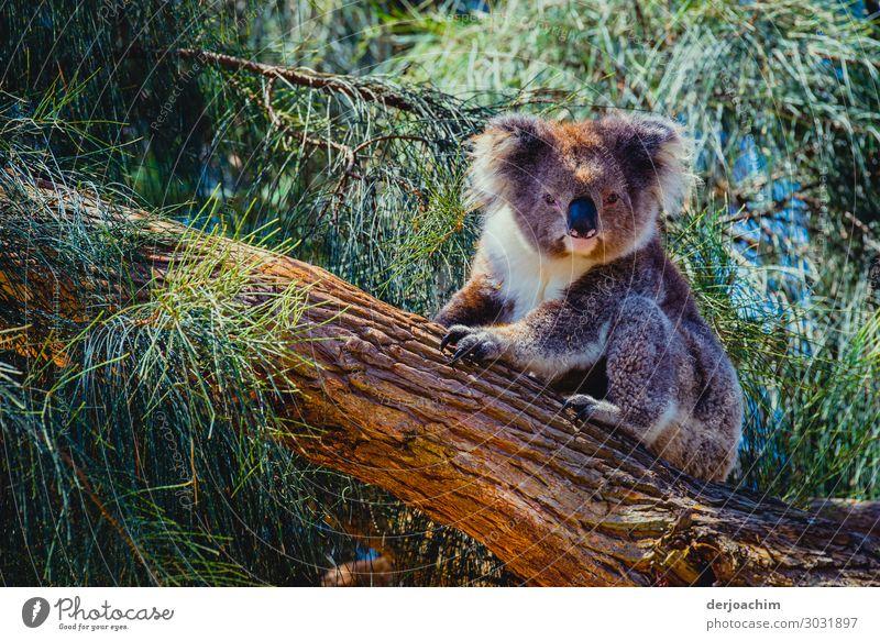 400 / bin schon wach ( fast ) // Ein Koala sietzt auf einem Baumstamm und schaut in die Kamera.  Um Ihn herum lauter Grüne Zweige. Freude Zufriedenheit Ausflug