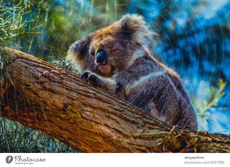 Im Tiefschlaf ist ein liegender Koala auf einem Baumstamm. Er krallt sich auf dem Baum fest- Freude Erholung Ausflug Natur Sommer Schönes Wetter Urwald