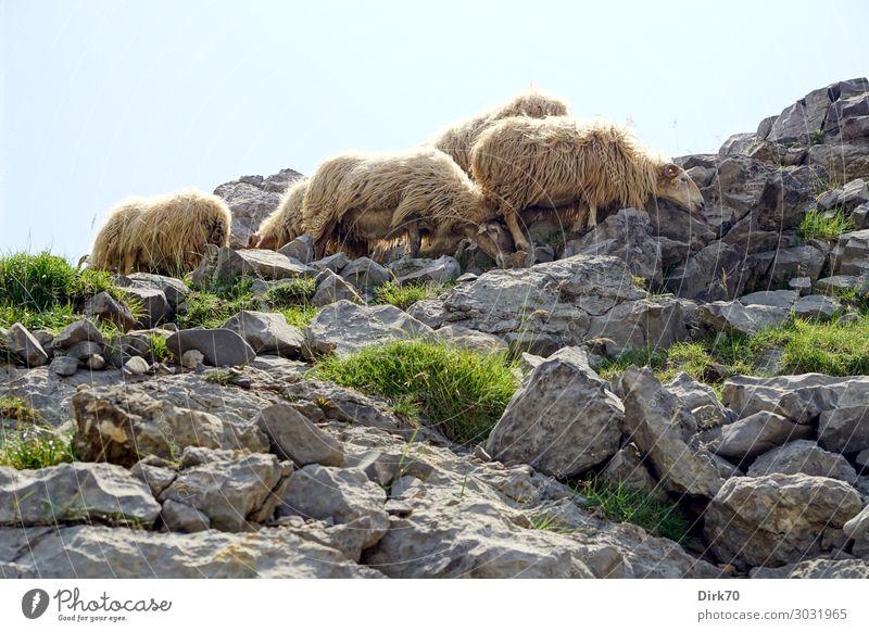 Schutz vor der sengenden Sonne Umwelt Natur Landschaft Sonnenlicht Sommer Schönes Wetter Wärme Gras Felsen Berge u. Gebirge Picos de Europa Gipfel Fuente Dé