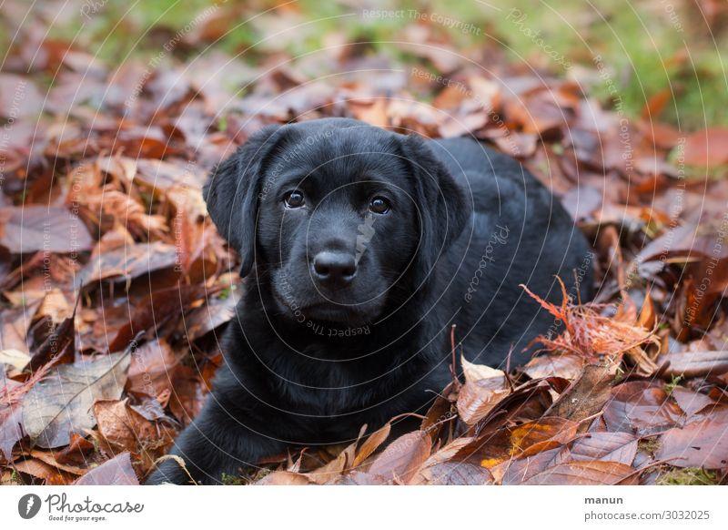 Herz-Hündchen Lifestyle Gesundheit Häusliches Leben Hund Tiergesicht Hundeblick Labrador Welpe Tierjunges Denken hören liegen Blick authentisch frech