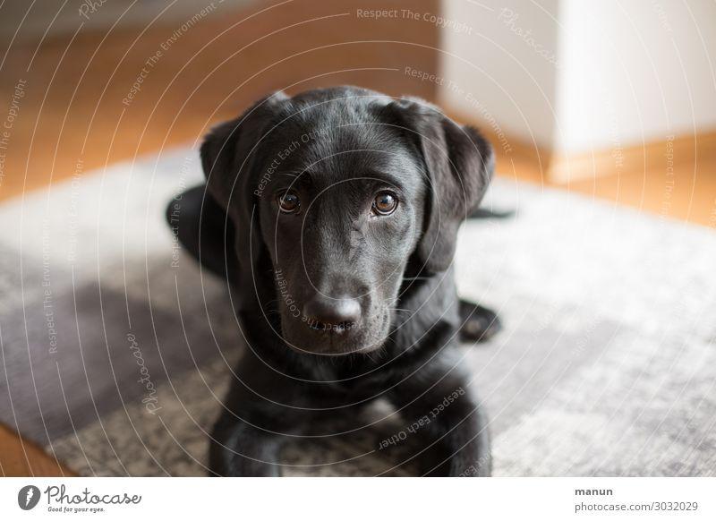 Hundeblick ruhig Gesundheit Tierjunges Lifestyle natürlich Glück Freundschaft Häusliches Leben liegen Fröhlichkeit Lebensfreude authentisch lernen warten