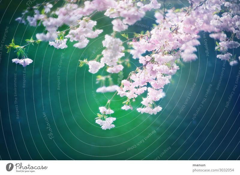 Kirschblüte Lifestyle harmonisch Erholung Garten Ostern Natur Frühling Baum Blüte Kirschblüten schön blau grün rosa rein Farbfoto Außenaufnahme Menschenleer