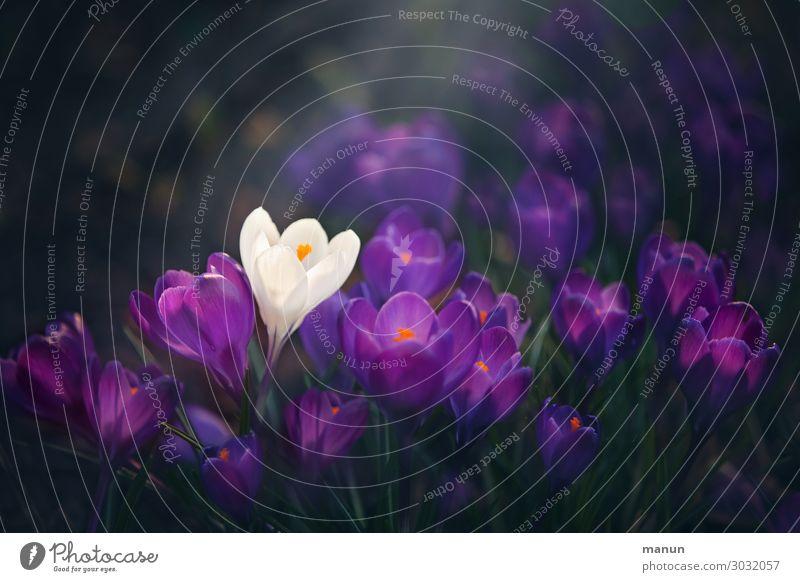 Sonderklasse Natur Pflanze Frühling Blume Frühlingsblume Frühblüher Frühlingsblumenbeet Blühend außergewöhnlich violett weiß Frühlingsgefühle Beginn