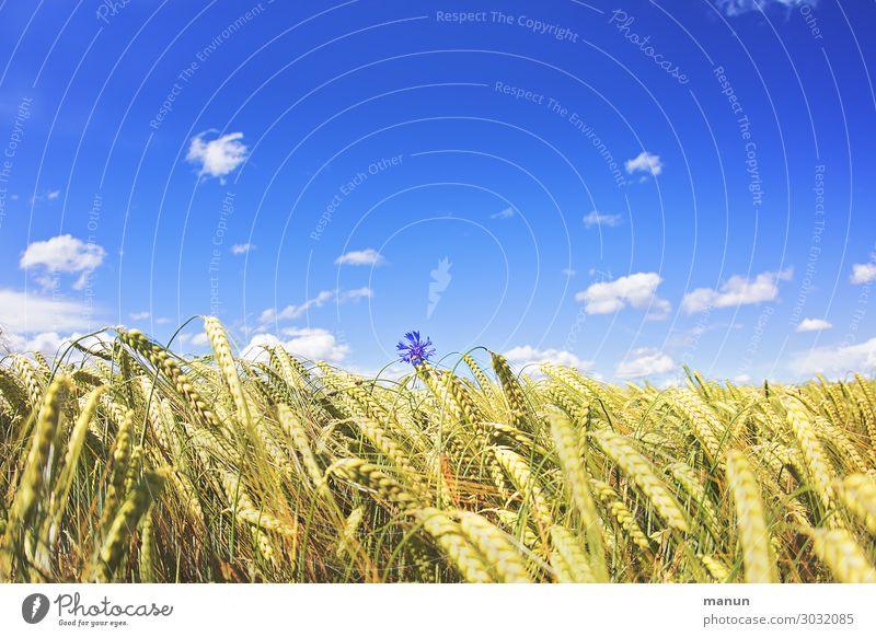 Einzelkämpfer Lebensmittel Ernährung Bioprodukte Natur Himmel Sommer Schönes Wetter Blume Nutzpflanze Kornfeld Kornblume Getreidefeld Feld Blühend Wachstum