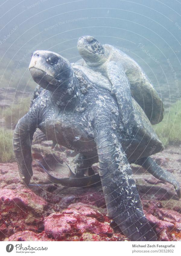 Zwei Meeresschildkröten, die sich unter Wasser paaren, auf Galapagosinseln. exotisch schön Leben Sonne Insel tauchen Umwelt Natur Tier Sand Klima natürlich wild