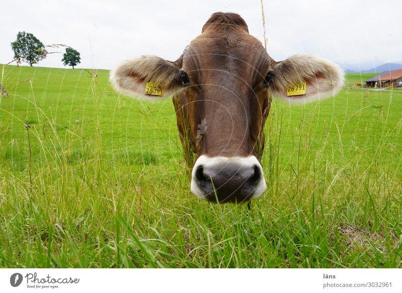 Kopf hinhalten Landwirtschaft Forstwirtschaft Himmel Wolken Gras Wiese Tier Kuh 1 Blick stehen Neugier Gelassenheit Rind Weide Allgäu Farbfoto Außenaufnahme