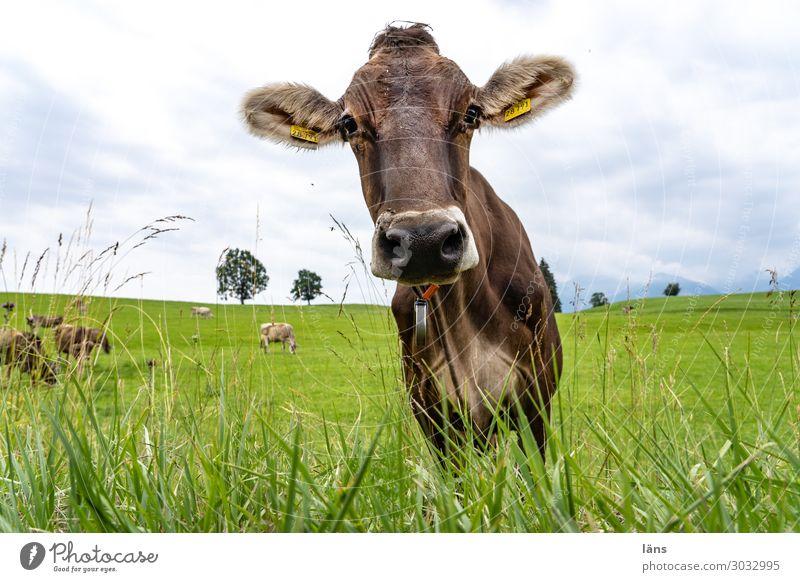 Allgäuer Rind - neugierig Himmel Sommer schön Tier Leben Umwelt Wiese Gras Horizont Idylle stehen Tiergruppe authentisch Neugier Hoffnung Gelassenheit
