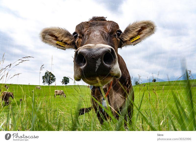 Allgäuer Rind Landwirtschaft Forstwirtschaft Himmel Sommer Gras Wiese Tier Kuh Tiergesicht 1 Tiergruppe beobachten Blick stehen außergewöhnlich Freundlichkeit