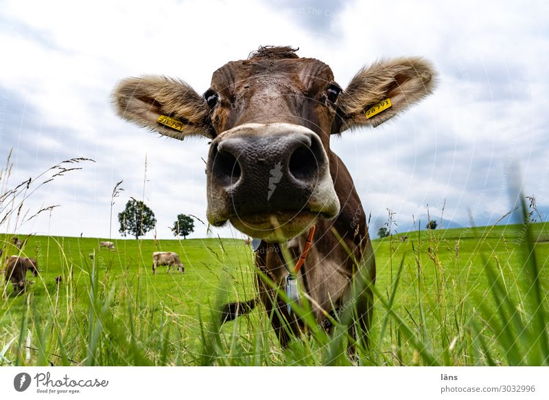 Allgäuer Rind Wiese Landwirtschaft Kuh