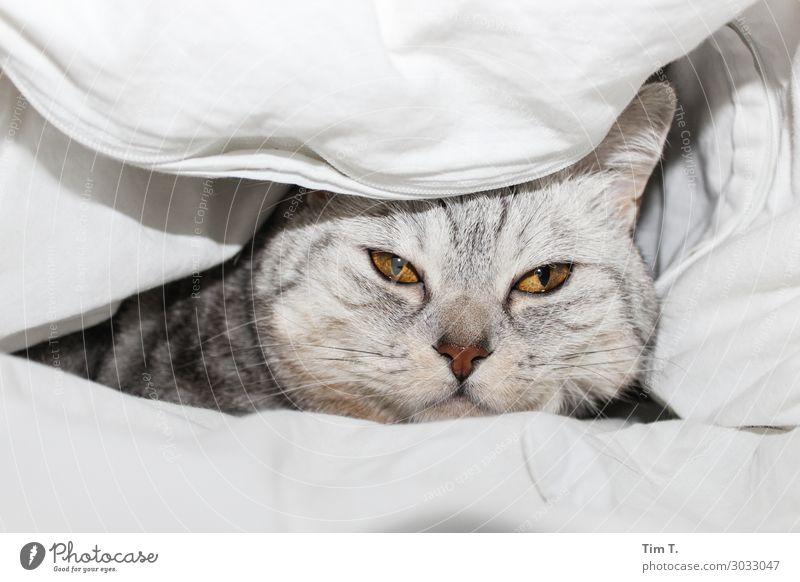 Müde im Bett Tier Haustier Katze Tiergesicht 1 Partnerschaft Decke Bettdecke Farbfoto Innenaufnahme Menschenleer Textfreiraum oben Textfreiraum unten Morgen Tag