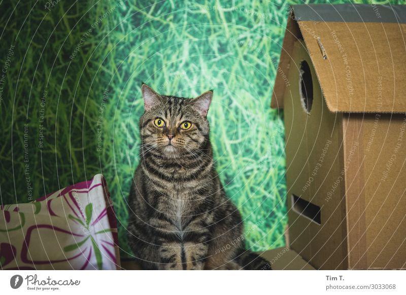 Kater an Papphaus Nr. 28 Tier Haustier Katze 1 Zufriedenheit Hauskatze Karton Farbfoto Innenaufnahme Nahaufnahme Menschenleer Textfreiraum oben Tag Licht Blick
