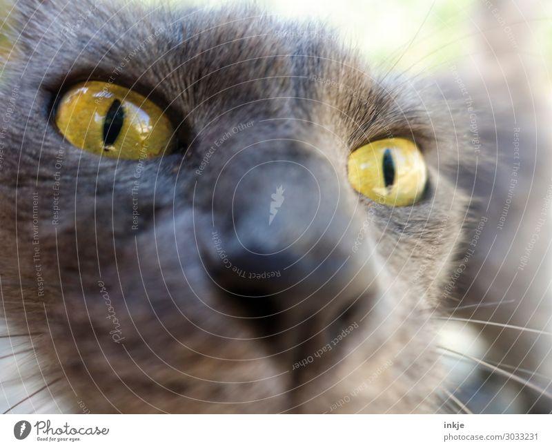 Korsische Katze Tier Tiergesicht 1 Blick authentisch nah Neugier gelb grau Farbfoto Außenaufnahme Nahaufnahme Makroaufnahme Menschenleer Tag Licht Kontrast