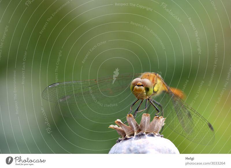 Nahaufnahme einer Libelle, die auf einer Mohnkapsel sitzt Umwelt Natur Pflanze Tier Sommer Schönes Wetter Garten Wildtier 1 festhalten Blick stehen ästhetisch