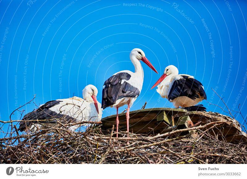 Drei Störche in einem Nest schön Sommer Familie & Verwandtschaft Natur Tier Frühling Wildtier Vogel Tierjunges stehen blau schwarz weiß Storch Zugvogel