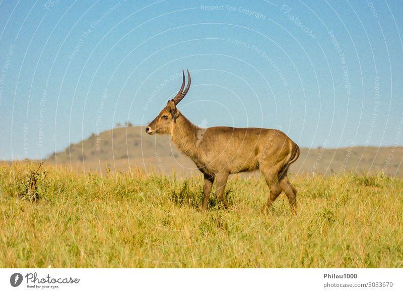 Kobus defassa - Tsavo, Kenia. Safari Frau Erwachsene Mann Natur Reinigen braun Afrika Antilopen Defassa defassa tsavo Ellipsiprymnus kobus Säugetier Mara Masai