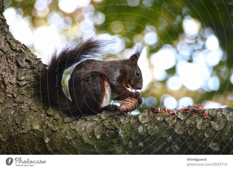 Eichhörnchen knabbert auf einem Ast an einem Fichtenzapfen. Qualitätstest der Ware bevor die Sammlung und Einlagerung der Wintervorräte fortgesetzt wird.
