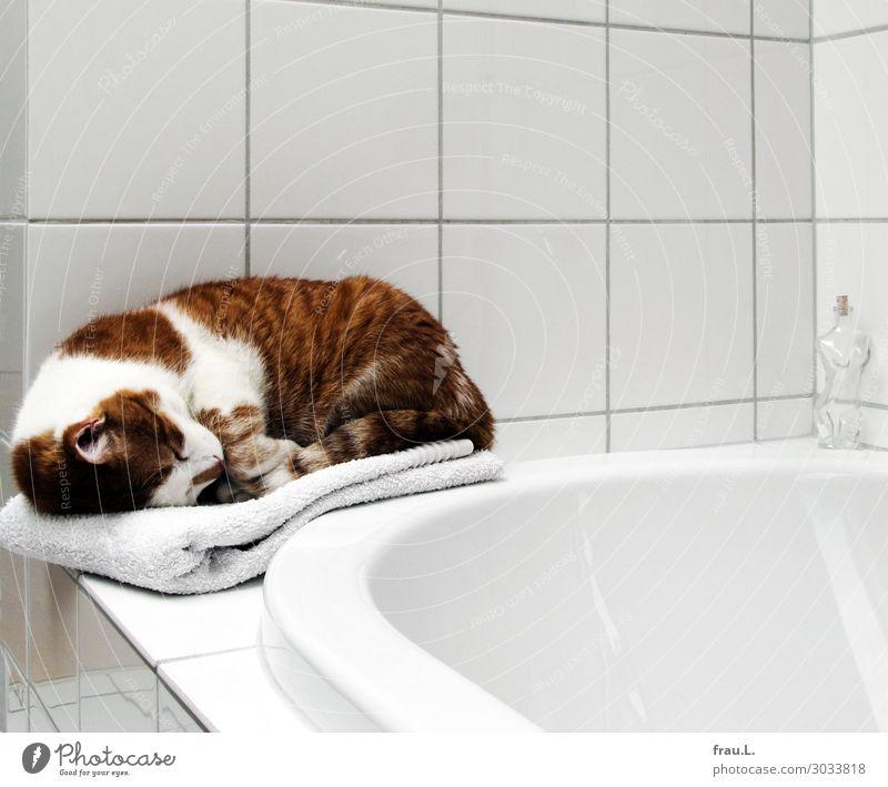 Badträume Tier Haustier Katze 1 liegen schlafen träumen niedlich Sauberkeit schön weich braun weiß Schutz Geborgenheit Tierliebe Freiheit Gelassenheit ruhig