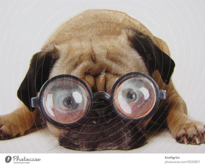Durchblick Tier Haustier Hund Mops 1 Brille Denken liegen Blick braun schwarz weiß Gefühle Traurigkeit Sorge Kommunizieren Sorgenfalte Farbfoto Studioaufnahme