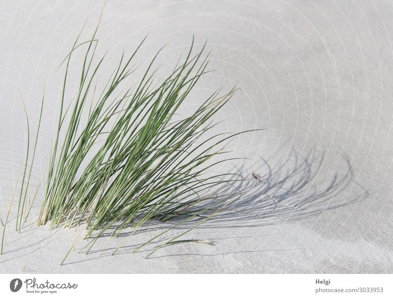 Dünengras im Sonnenlicht mit Schattenwurf im weißen Sand Umwelt Natur Pflanze Sommer Schönes Wetter Gras Grünpflanze Wildpflanze Insel Helgoland Bewegung stehen