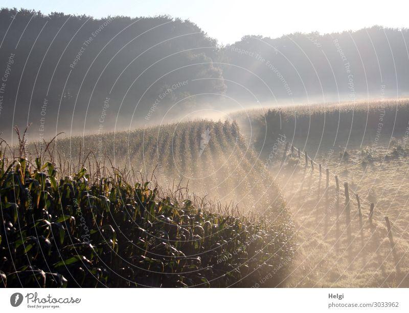Landschaft mit Morgennebel und diffusem Sonnenlicht, Maisfeld, Wiese, Zaun und Wald Umwelt Natur Pflanze Sommer Nebel Baum Gras Nutzpflanze Feld Zaunpfahl