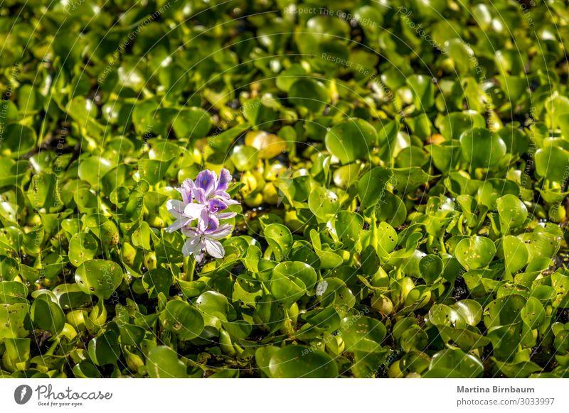 Nahaufnahme von rosa Lilien in den Sümpfen des Golfs von Mexiko schön Sommer Garten Natur Landschaft Pflanze Blume Blatt Blüte See frisch natürlich grün Farbe
