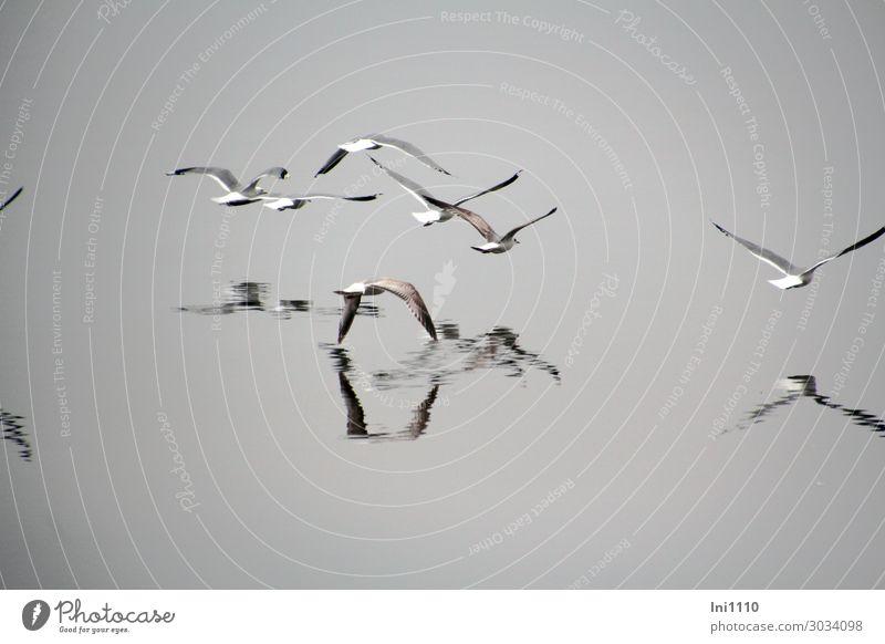 luftig | Möwen im Nebel Ferien & Urlaub & Reisen blau Wasser weiß Tier ruhig schwarz Frühling Küste Vogel braun grau fliegen Wildtier Tiergruppe