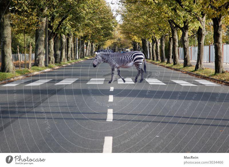 Zebrastreifen Zirkus Zoo Tier Straße Verkehrszeichen Verkehrsschild Zeichen Streifen weiß Sicherheit achtsam skurril Lebewesen verkehrssymbol Verkehrssicherheit