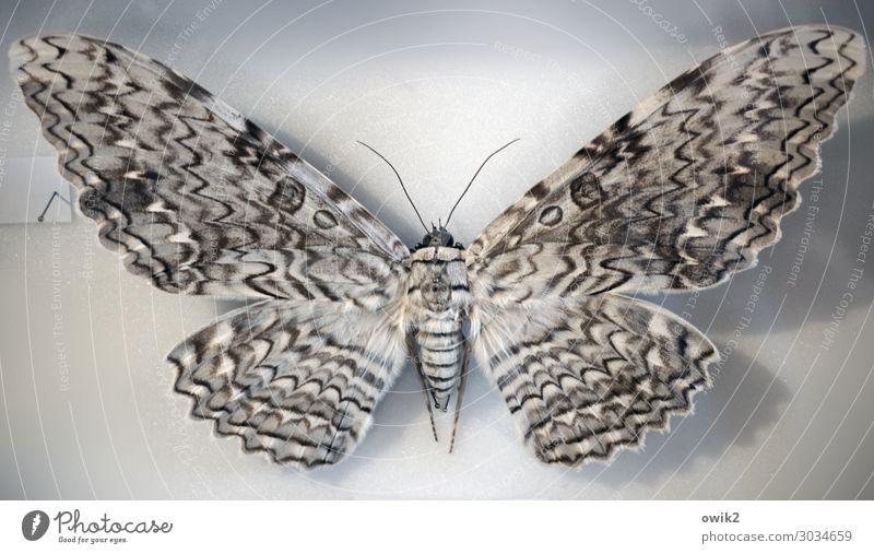 Alter Falter Schmetterling 1 Tier groß einzigartig Tod konserviert gespannt Flügel Fühler exotisch Wissenschaften Museum Farbfoto Gedeckte Farben Innenaufnahme