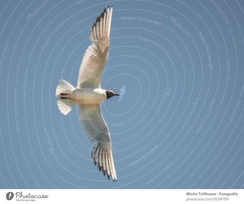 Fliegende Lachmöwe Natur Tier Himmel Sonnenlicht Schönes Wetter Wildtier Vogel Tiergesicht Flügel Möwe Feder gefiedert Schnabel 1 fliegen Blick nah natürlich