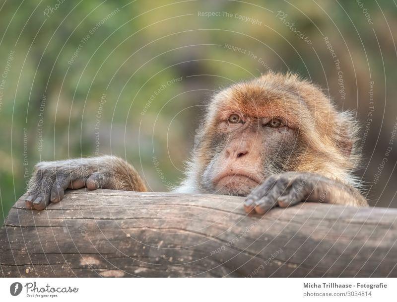 Neugierig schauender Berberaffe Natur Tier Sonnenlicht Schönes Wetter Wildtier Tiergesicht Fell Berberaffen Affen Auge Nase Maul Pfote Finger 1 beobachten Blick