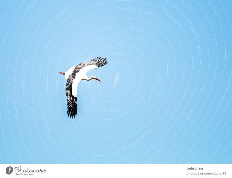 schnellimbiss Himmel Wildtier Vogel Flügel Storch Feder Schnabel Küken fliegen Fressen außergewöhnlich fantastisch schön blau schwarz weiß Freiheit Ferne oben