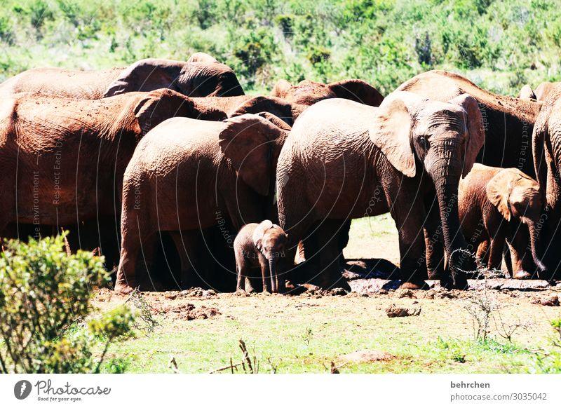 blaskapelle Ferien & Urlaub & Reisen Tourismus Ausflug Abenteuer Ferne Freiheit Safari Wildtier Tiergesicht Elefantenhaut Rüssel Herde Tierjunges Tierfamilie