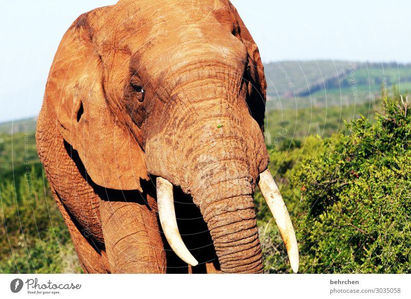 elfenbein Ferien & Urlaub & Reisen Tier Ferne Tourismus außergewöhnlich Freiheit Ausflug Wildtier Abenteuer Sträucher fantastisch groß Kraft stark Fernweh