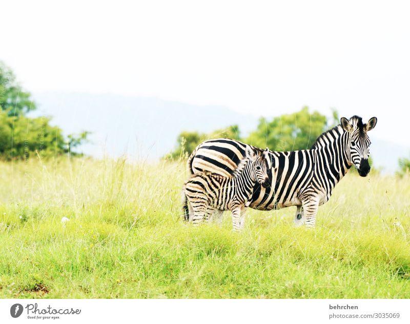geborgenheit Ferien & Urlaub & Reisen Tourismus Ausflug Abenteuer Ferne Freiheit Safari Natur Landschaft Gras Wildtier Tiergesicht Fell Zebra Tierjunges