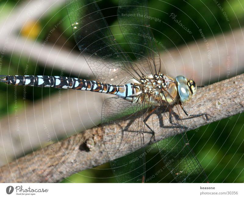 libelle Insekt Ast
