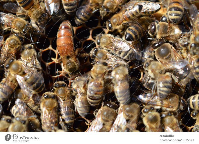 luftig | die Königin hält Hof - auffällige, aber unmarkierte Bienenkönigin umringt von Arbeiterbienen auf Bienenwabe Natur Nutztier bauen viele braun gelb