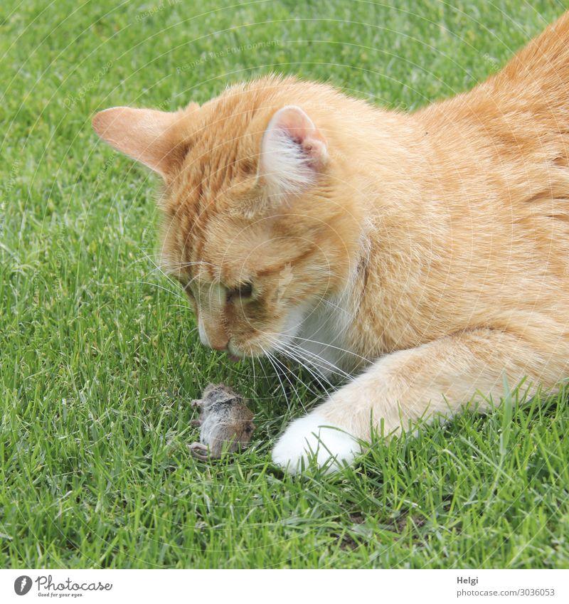 Beute Katze Natur Pflanze grün Tier Leben Umwelt natürlich Gras Garten Tod braun grau liegen Wildtier Erfolg