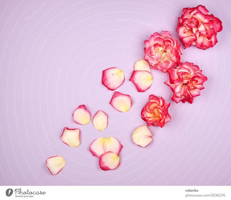 blühende Knospen von rosa Rosen auf fliederfarbenem Hintergrund elegant schön Sommer Dekoration & Verzierung Feste & Feiern Valentinstag Hochzeit Geburtstag