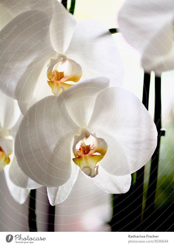 Orchidee Natur Pflanze Frühling Sommer Herbst Winter Blatt Blüte Blühend leuchten Duft elegant exotisch schön gelb orange weiß Orchideenblüte Farbfoto