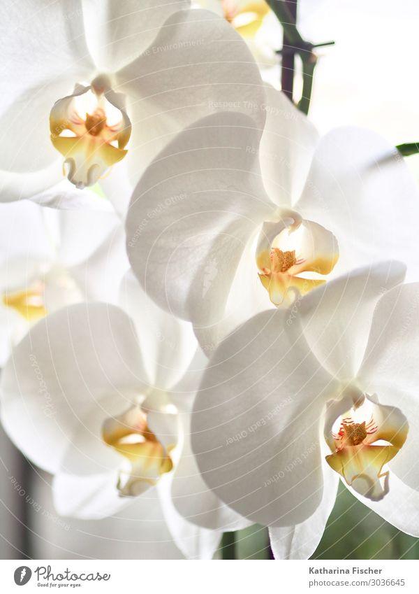 Orchideen Natur Pflanze Frühling Sommer Herbst Winter Blatt Blüte exotisch Dekoration & Verzierung Blühend leuchten schön gelb orange weiß Orchideenblüte