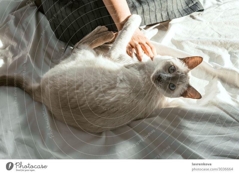 weißes Katzenhaustier von einer Frau auf einem weißen Laken Bettlaken Freundschaft Bettwäsche gemütlich Hygge schön Pelzmantel weich fluffig Säugetier heimisch