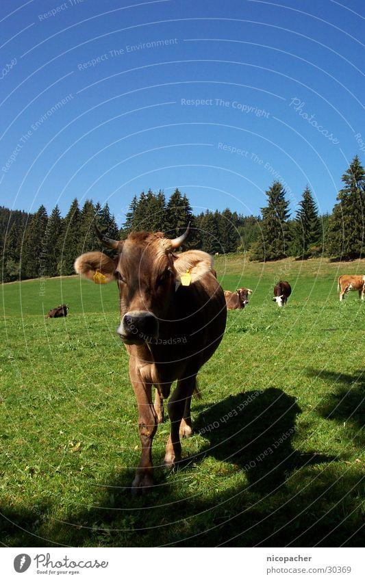 Allgäuer Kuh Sommer Wiese grün Viehweide Rind Weide Gras Tier Berge u. Gebirge Horn blau Blauer Himmel warme jahreszeit