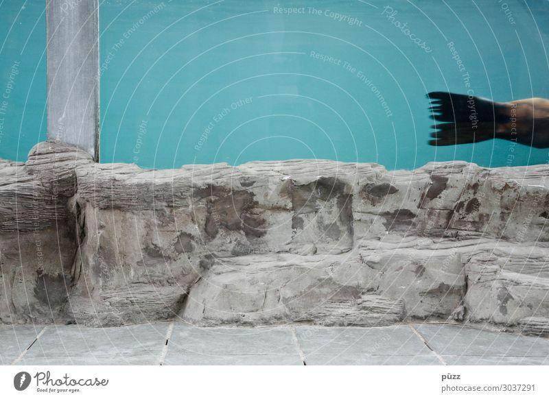 Weg hier Ferien & Urlaub & Reisen Ausflug Sommer Sommerurlaub Tier Wasser Wildtier Zoo Aquarium Robben Seehund 1 Schwimmen & Baden tauchen nass blau Teneriffa