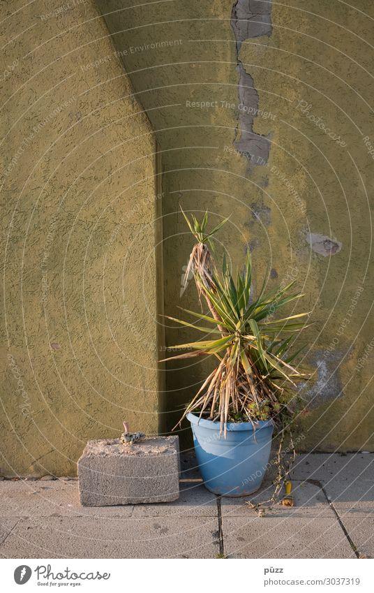 Topfpflanze Natur Schönes Wetter Wärme Dürre Pflanze Dorf Kleinstadt Menschenleer Gebäude Mauer Wand Fassade Stein trist trocken blau gelb grün Palme