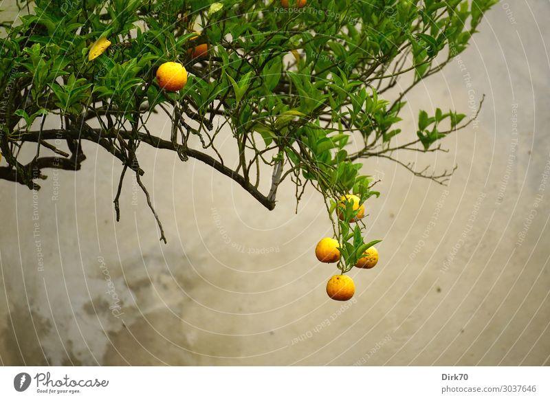 Vor der Ernte - Orangenbaum mit reifen Früchten Lebensmittel Frucht Ernährung Bioprodukte Vegetarische Ernährung Italienische Küche Ferien & Urlaub & Reisen